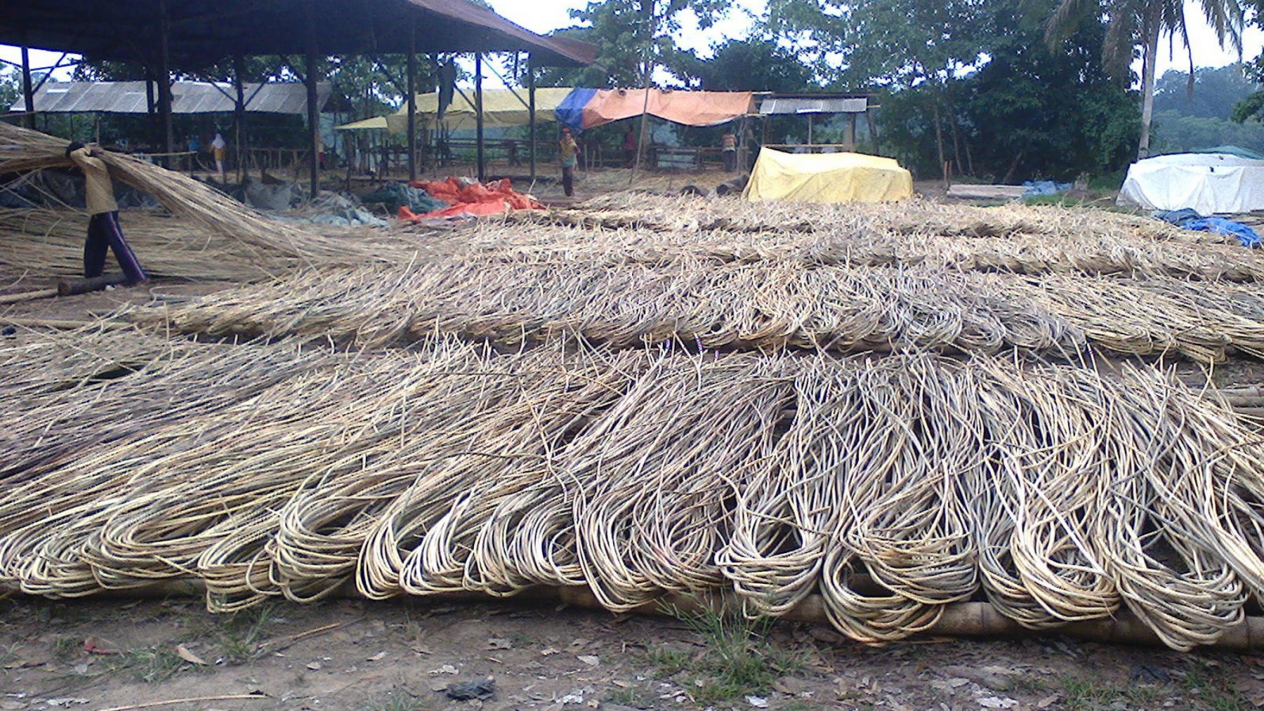 The process of drying out the rattan (© WWF-Indonesia)