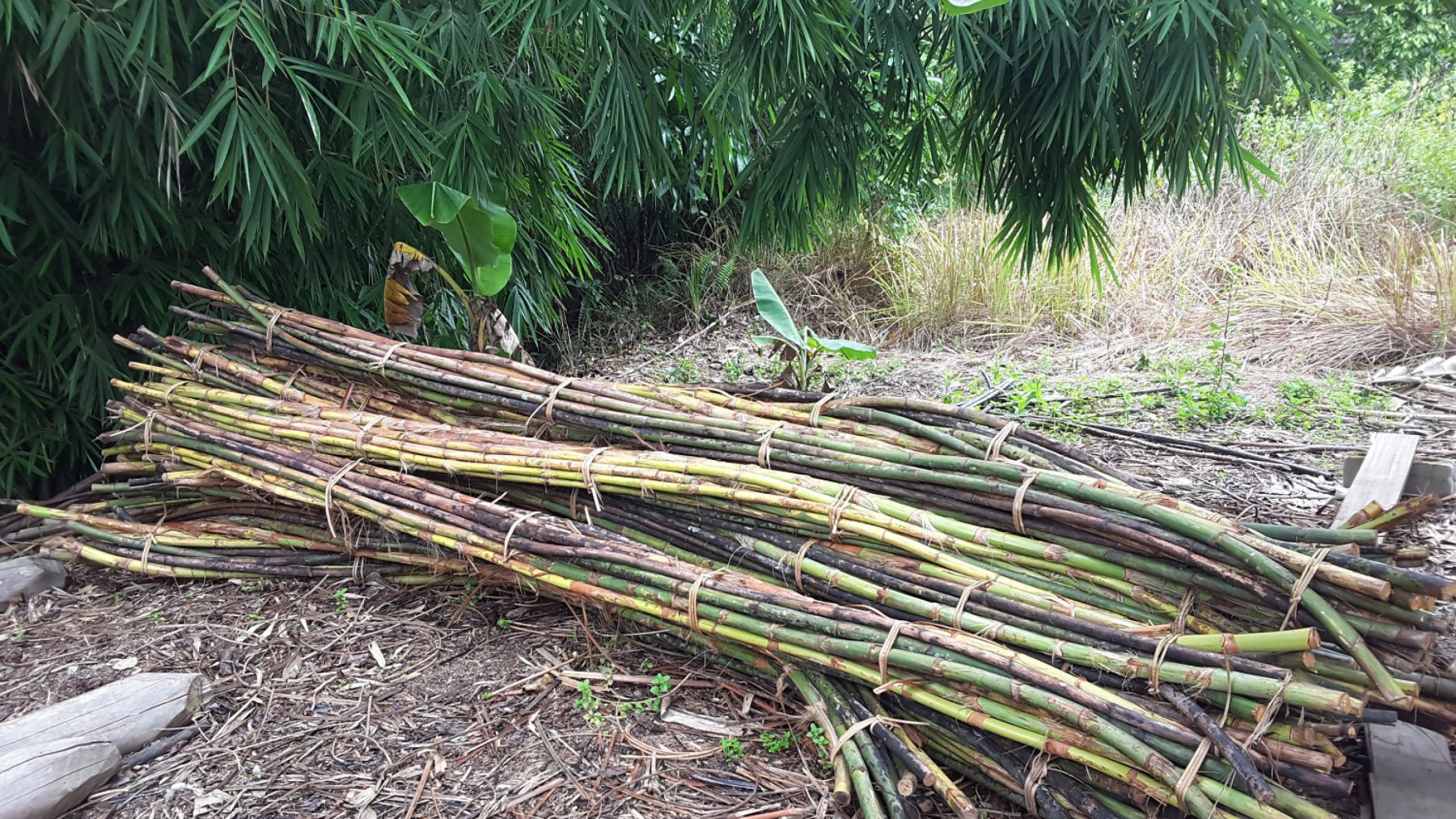 The raw material of rattan harvested from a well managed forest (© Kurniadi Camba / WWF-Indonesia)