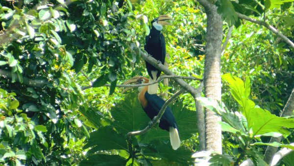 The rhyticeros plicatus (or the Papuan Hornbill) call the concession their home. (© Rahmat/The Borneo Initiative)